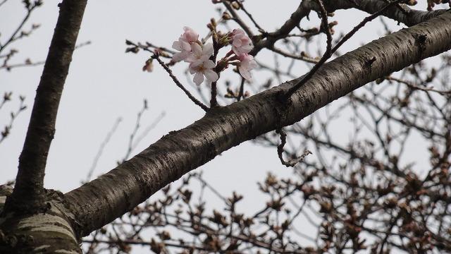 4桜.jpg
