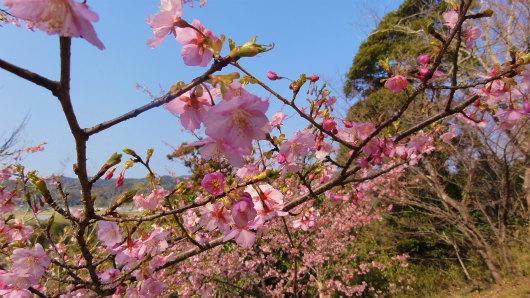 7.山頂の桜.jpg