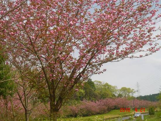 八重桜1DSC03216.jpg