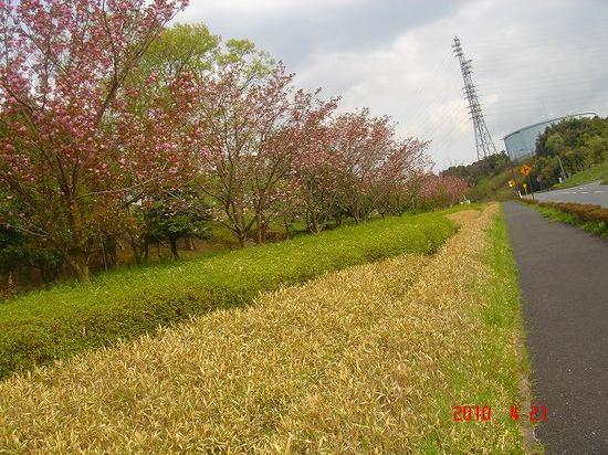八重桜3DSC03207.jpg