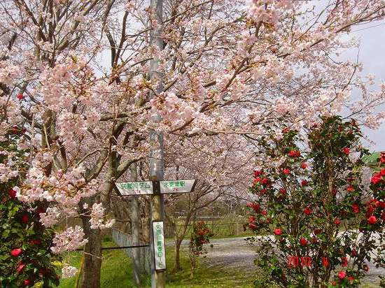 公民館の桜DSC02901.jpg