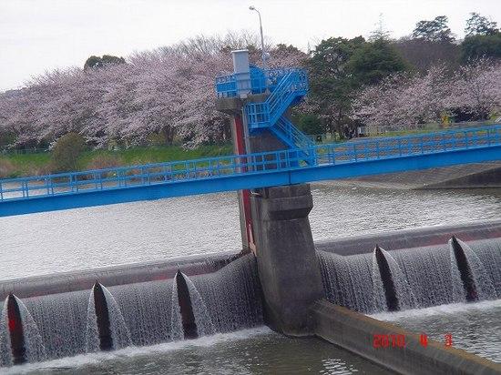 小櫃川堰公園の桜DSC02963.jpg