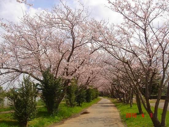 小櫃川堰公園の桜2DSC02968.jpg