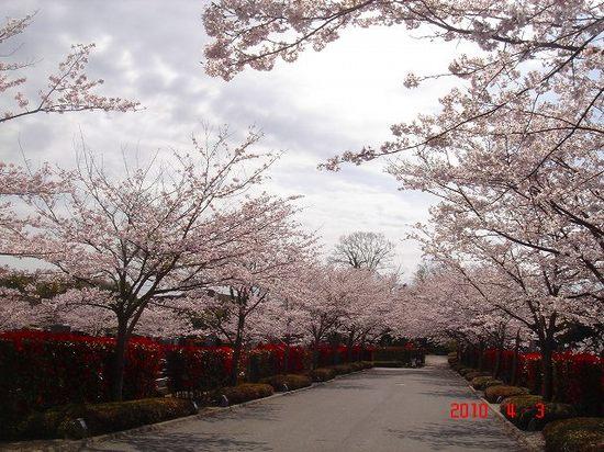 市営霊園の桜3DSC02886.jpg