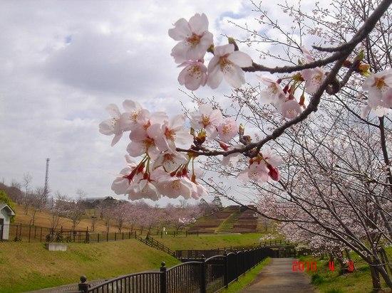矢那川ダムの桜DSC02907.jpg