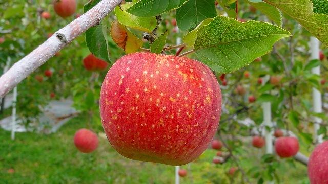 2.リンゴふじ .jpg