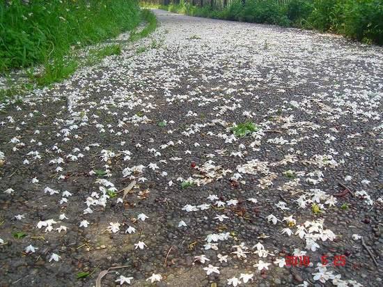 3.白い花びらDSC03595.jpg